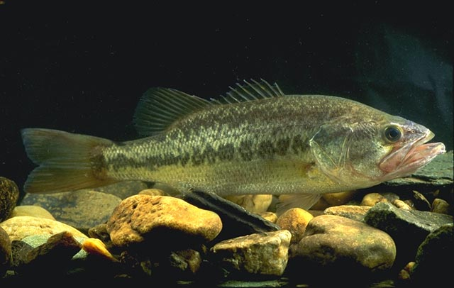 com   Largemouth Bass Pictures Information Wallpaper Photos 640x406