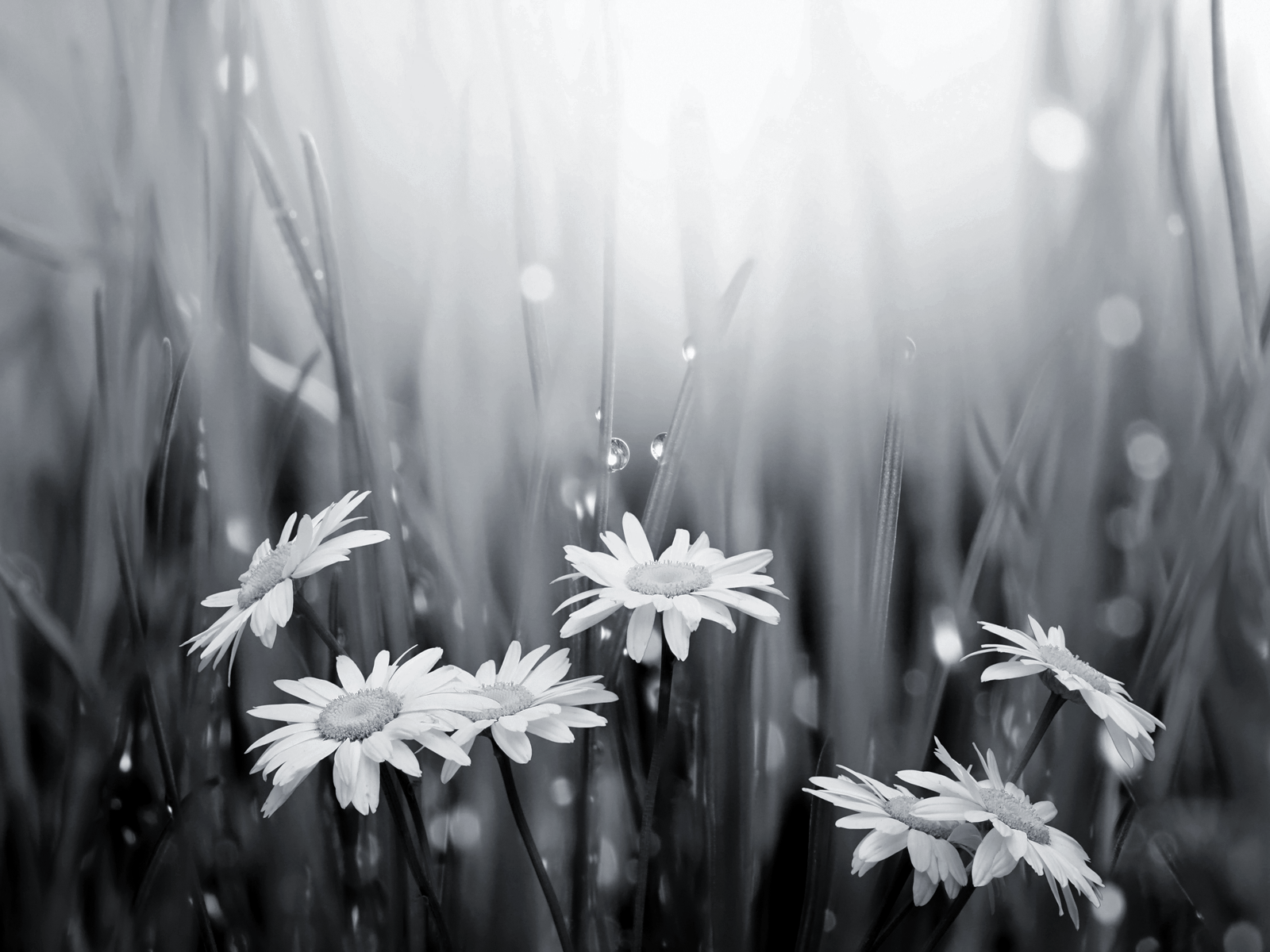 Free Download Black And White Daisies And Raindrops Wallpaper