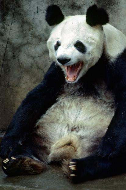 angry panda iphone 4 wallpaper Test Proba blog 413x620