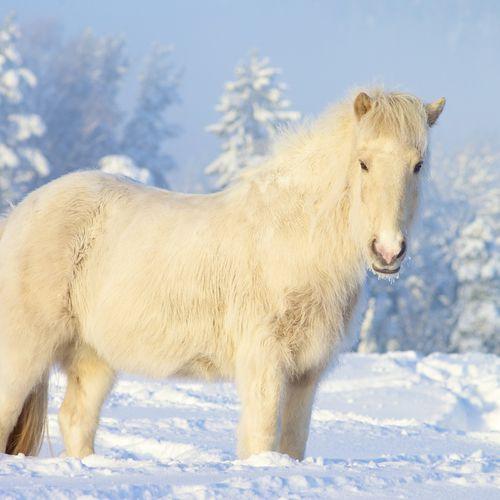 Yakutian Horse Picture For iPhone Blackberry iPad Yakutian Horse 500x500