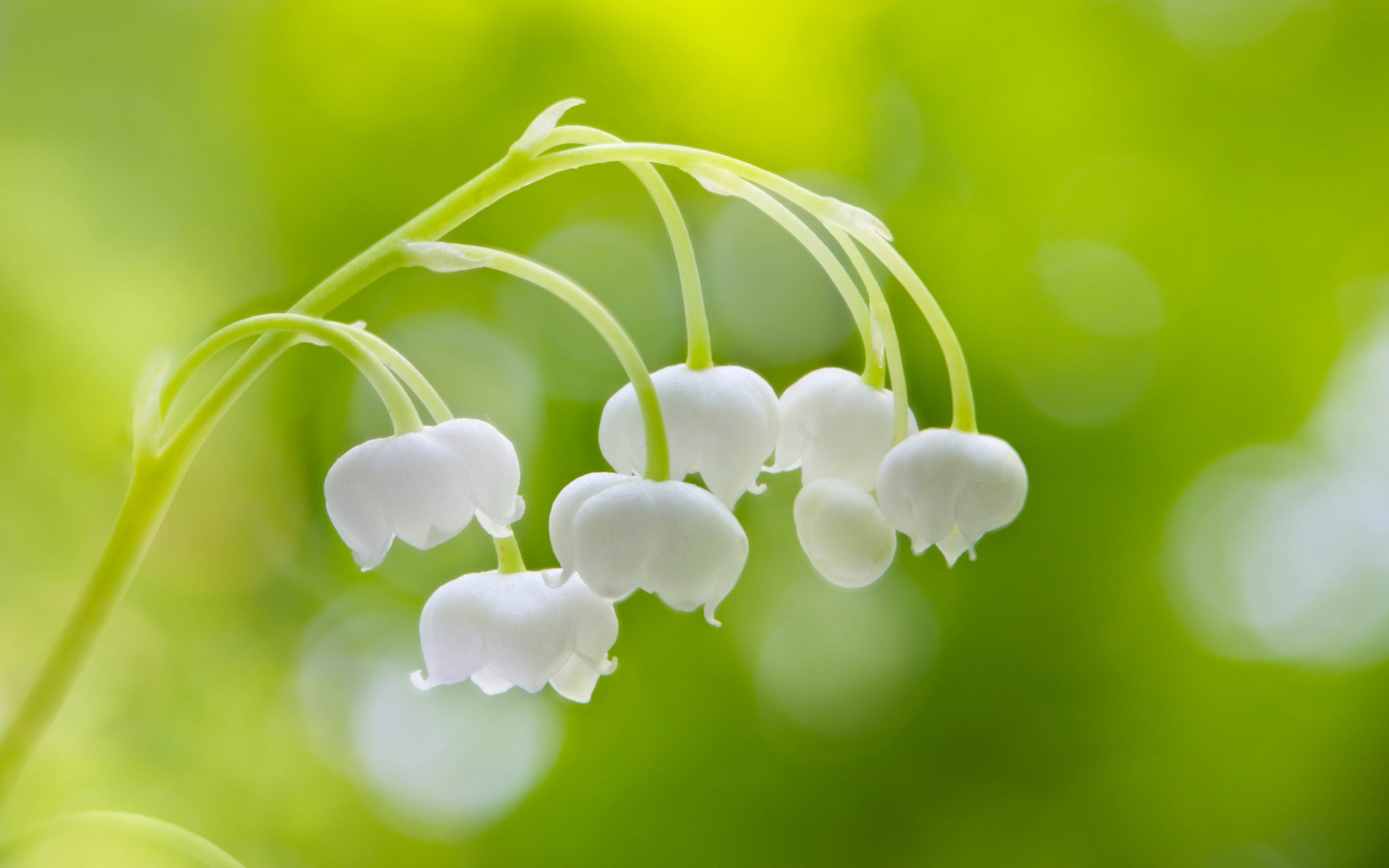 Free Download Lily Of The Valley Wallpapers High Quality Download