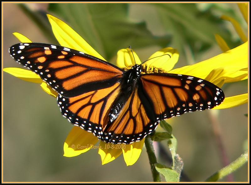 Monarch Butterfly 30 Desktop Background Wallpaper 800x590