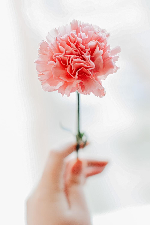 750 Carnation Pictures Download Images on Unsplash 1000x1500