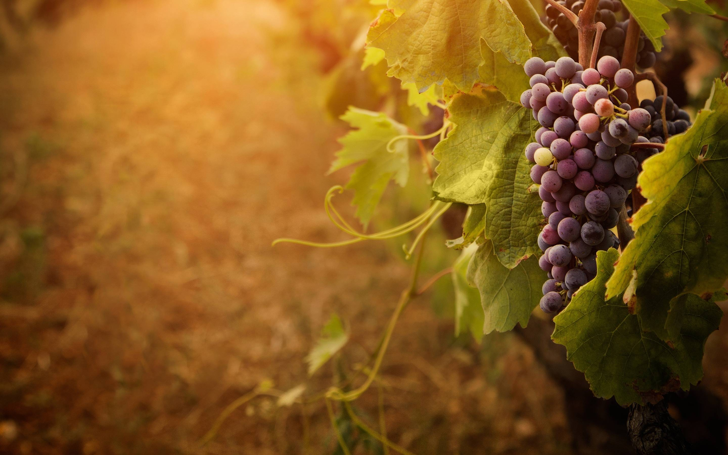 Wallpapers Grapes 2880x1800
