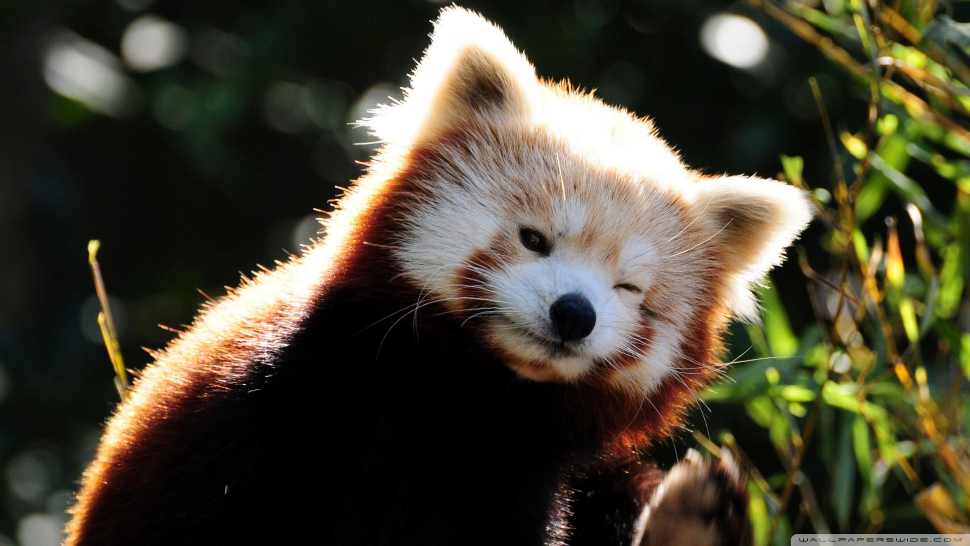 cute wallpaper panda red images 1920x1080 1920x1080