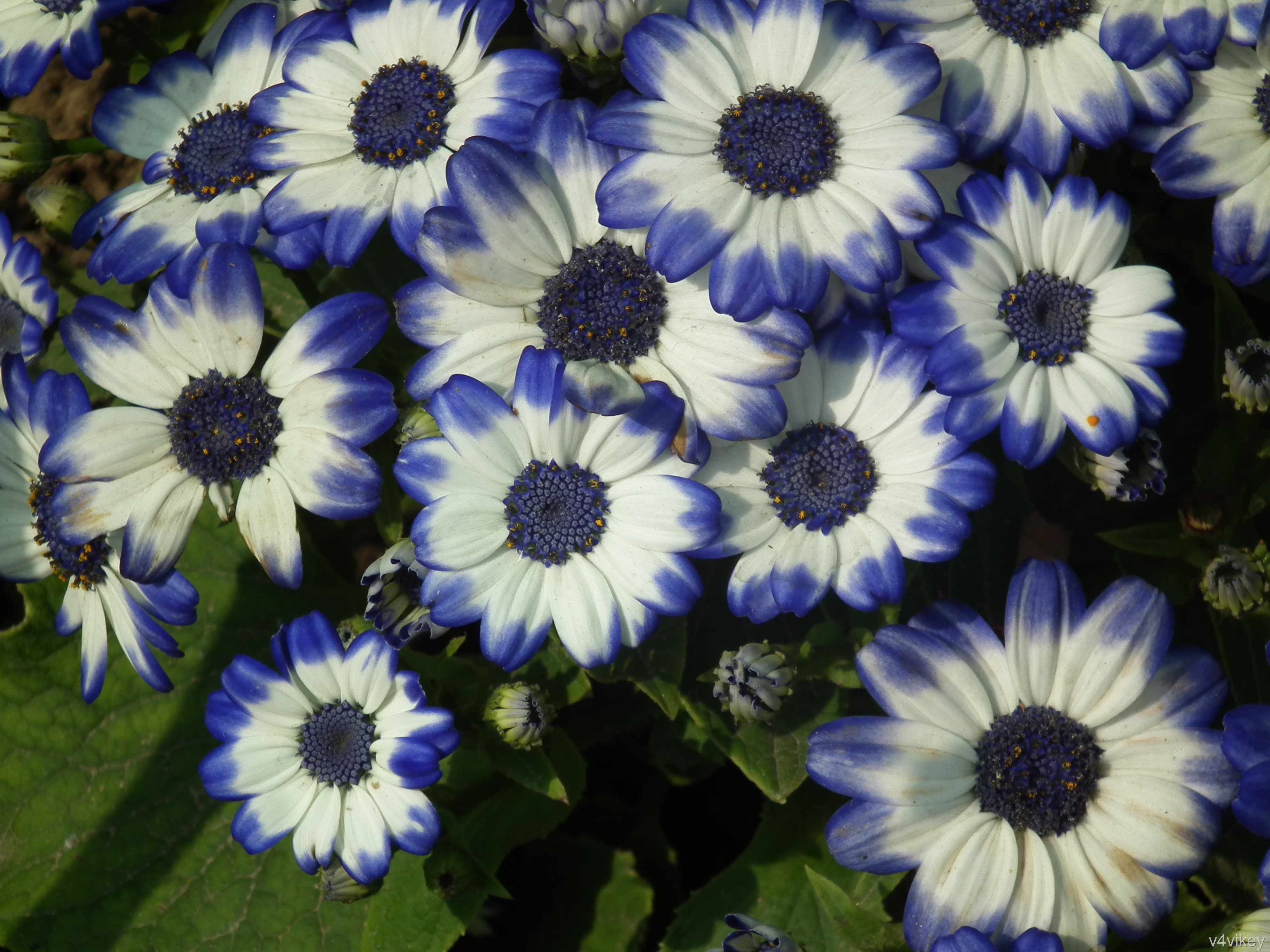 Beautiful Nature Blue n Cream White Color Cineraria Flower 3648x2736