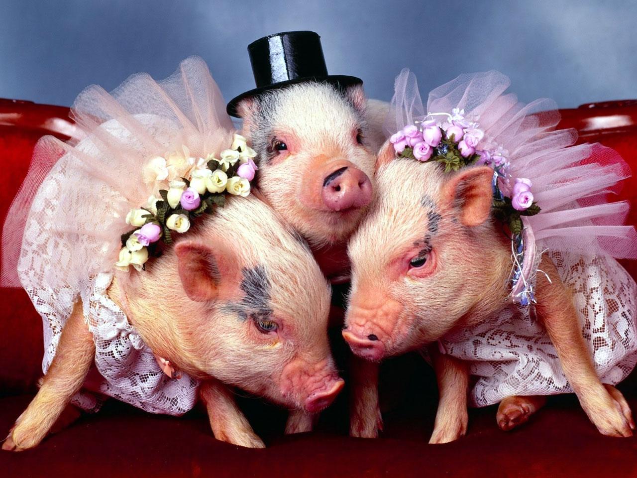 Cute Pig Wallpaper Backgrounds: Baby Pig Desktop Wallpaper