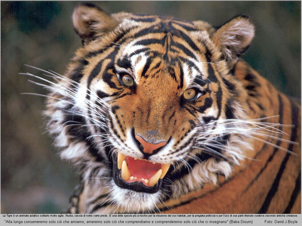 Tiger Wallpapers Images and animals Tiger pictures 730 1024x768