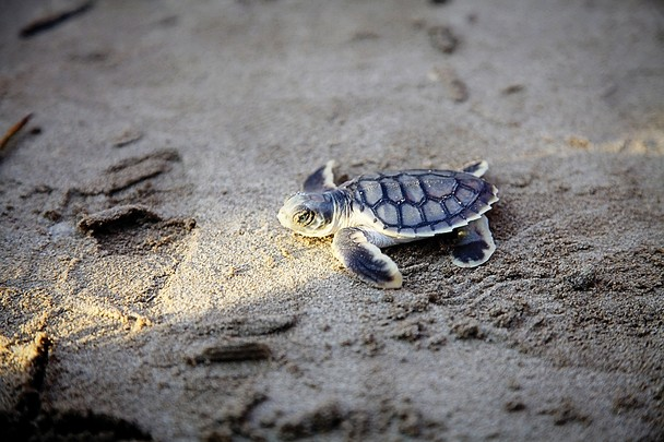 Baby Sea Turtle Release   National Geographic Photo Contest 2013 608x405
