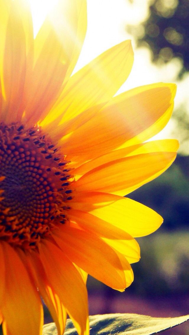 Sunflower May U have all the joy ur heart can hold 640x1136