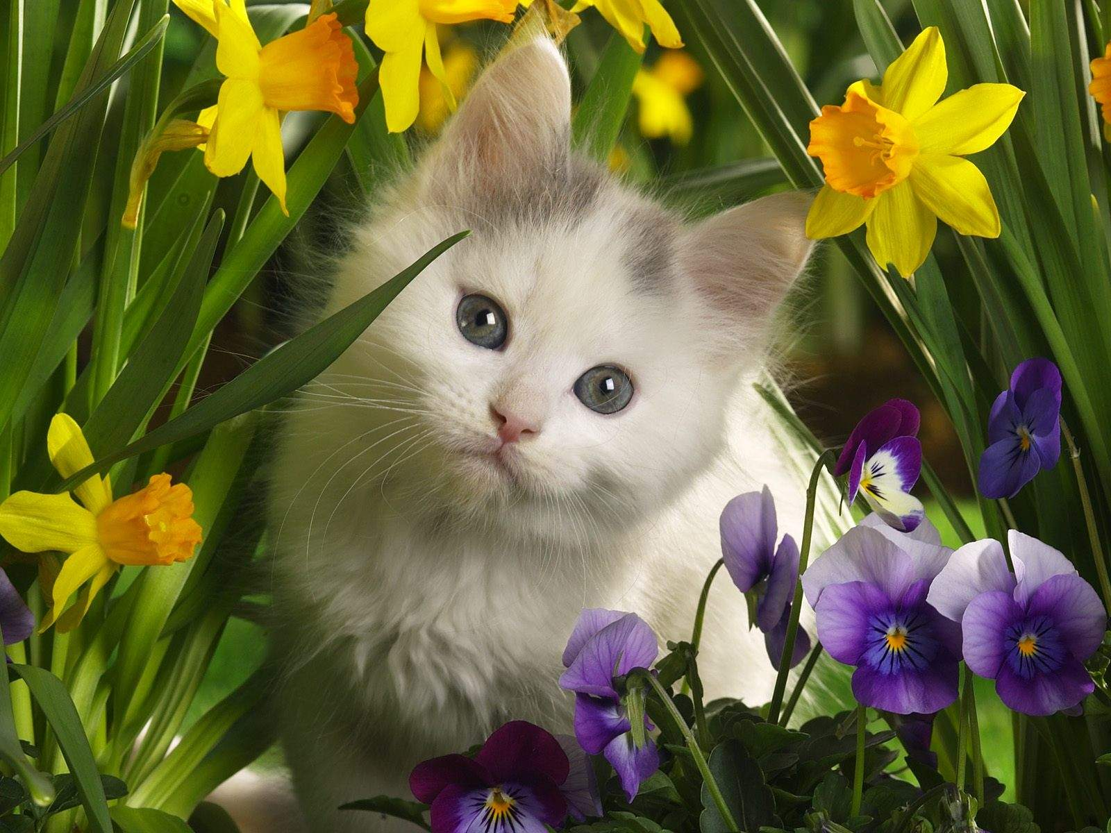 Free Download Baby White Cat Hd Wallpapers Baby White Cat 1600x1200 For Your Desktop Mobile Tablet Explore 73 White Cat Wallpapers Cat Desktop Wallpaper Black And White Cat Wallpaper