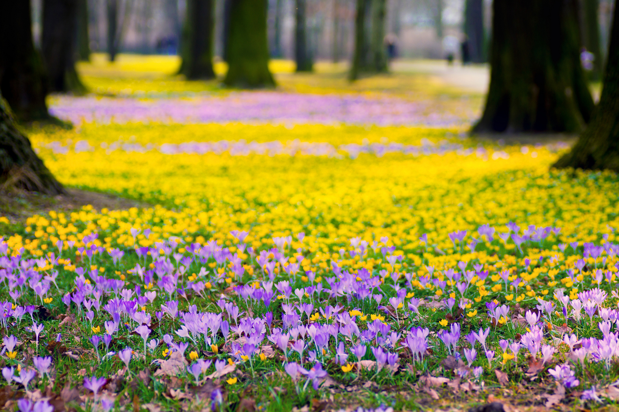 purple flowers yellow park trees nature spring wallpapers nature 2000x1333