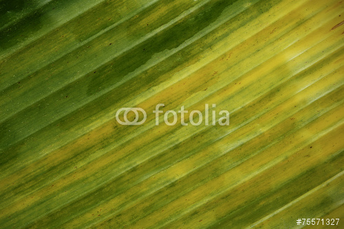 banana leaf pattern for the background Stock photo and royalty free 500x334