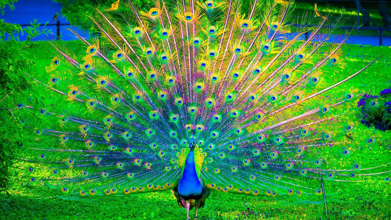 Peacock Art Photography Wallpaper Hq Backgrounds: Peacock Feather Wallpaper Windows 10