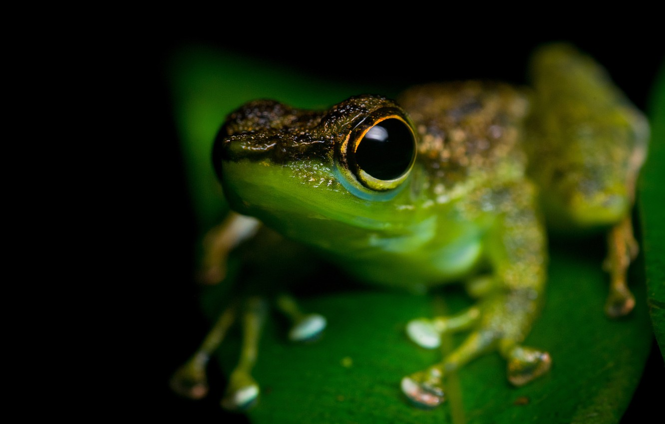 Wallpaper animals eyes macro frog black background green 1332x850