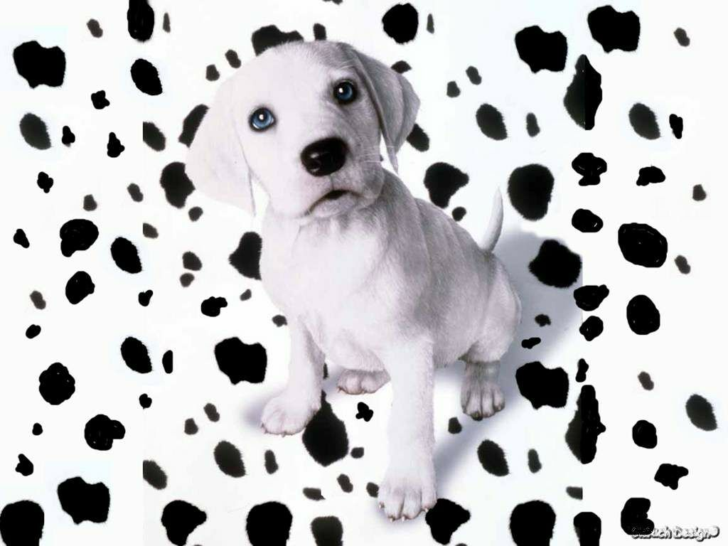 Spotted Dalmatian Puppy 1024x768