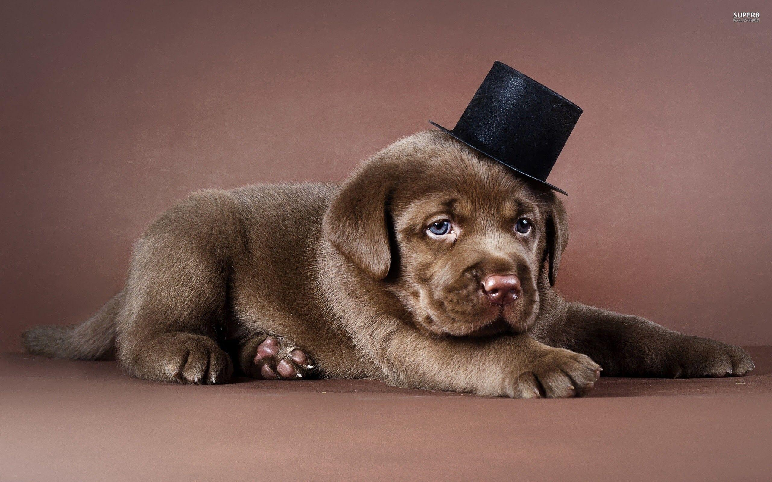 Chocolate Lab Wallpapers 2560x1600