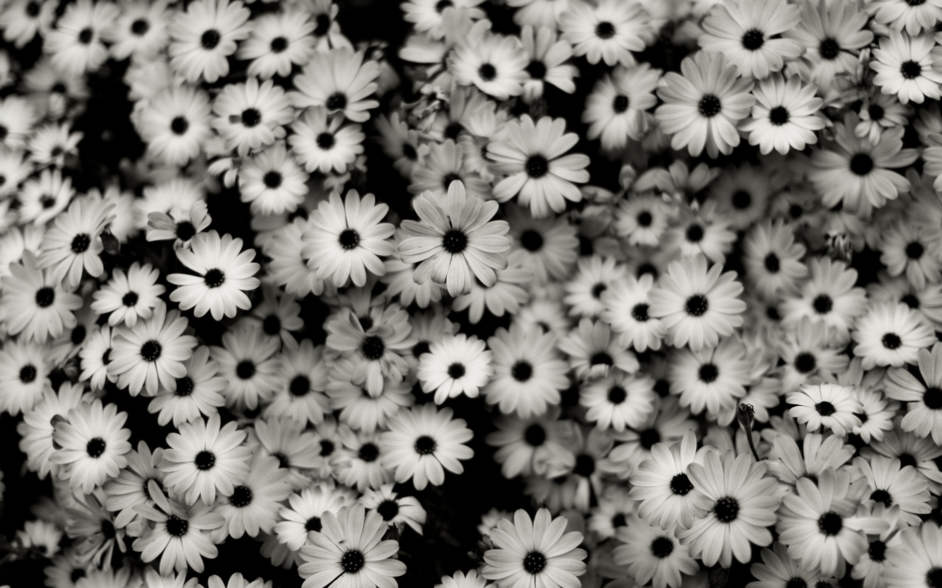 Black and white flowers wallpapers and images   wallpapers pictures 1920x1200