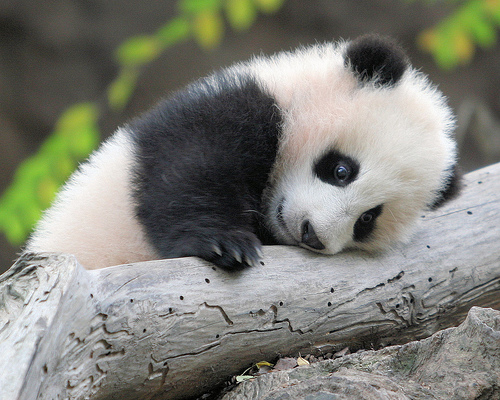 Baby Panda Will Load You with Buckets of Cuteness PHOTOS Cute 500x400