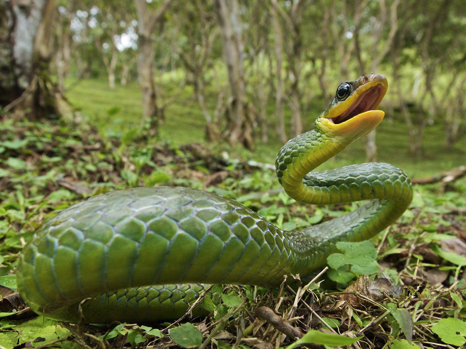 venomous snakes wallpaper viper pictures snake dowload viper snake 1600x1200