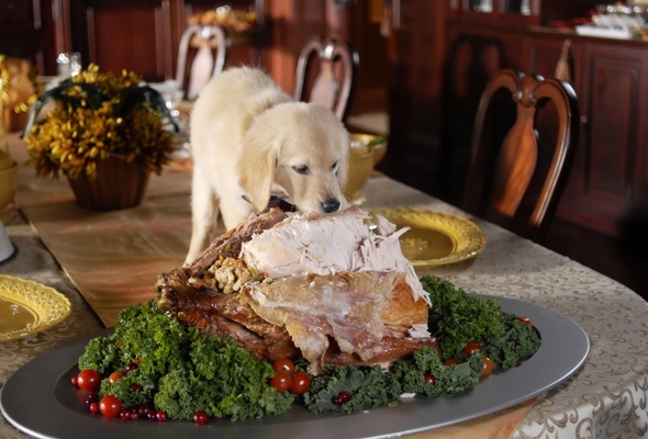 Wallpaper puppy fluffy meat meal table thanksgiving desktop 590x400