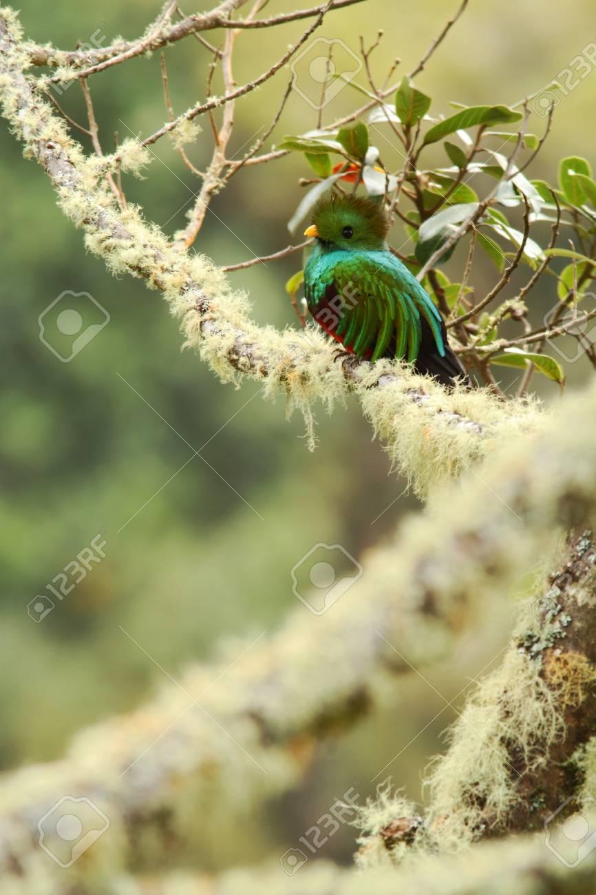 Resplendent Quetzal Pharomachrus Mocinno Savegre In Costa Rica 866x1300