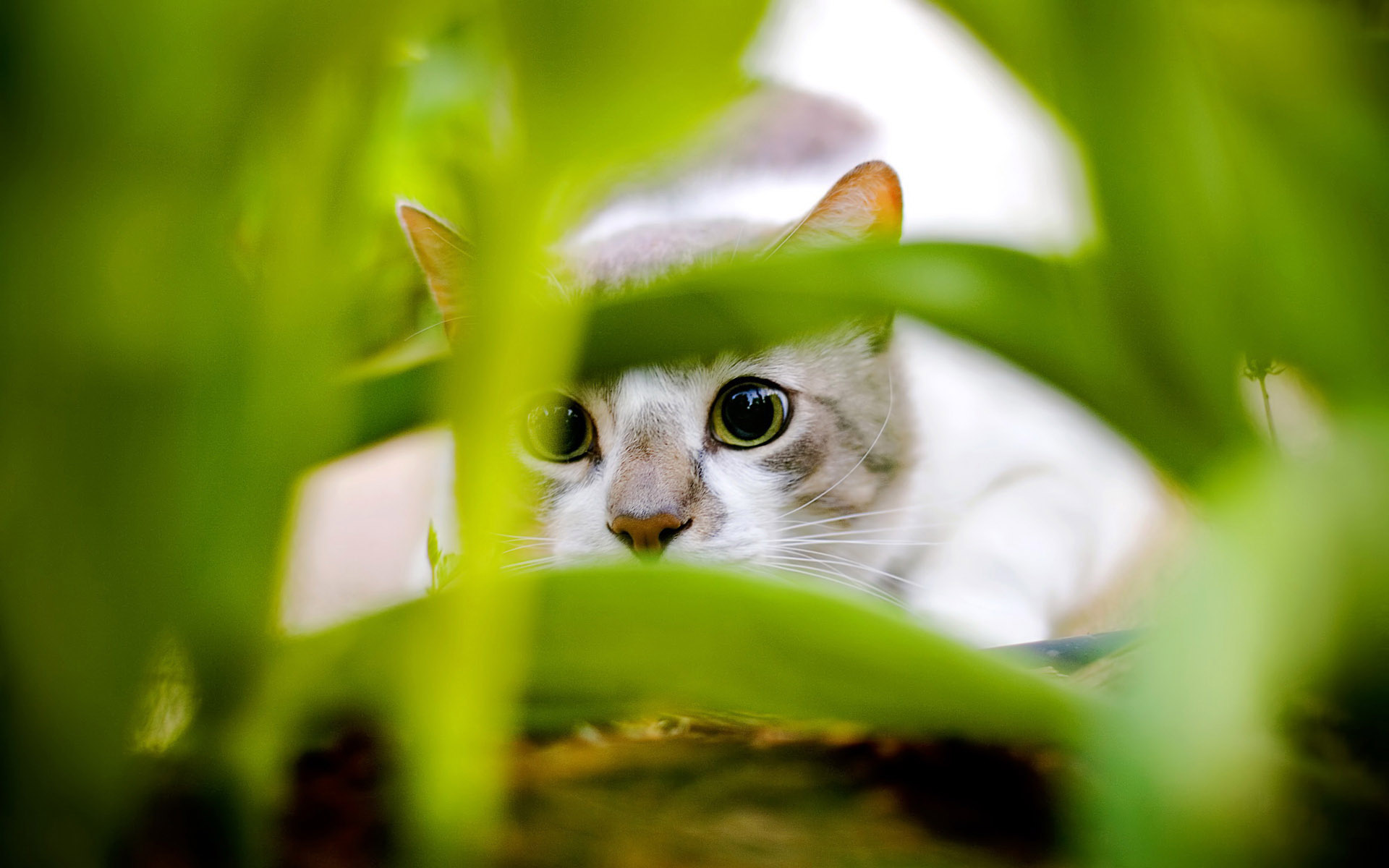 White big eyes cute cat wallpaper Animal desktop background Animal 1920x1200
