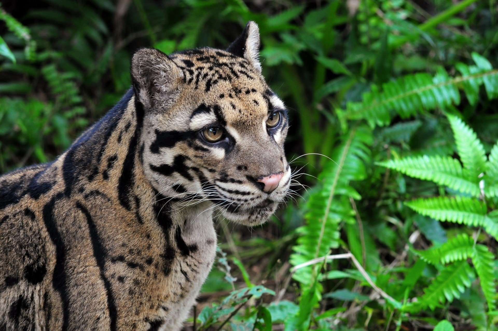 Suzys Animals of the World Blog THE CLOUDED LEOPARDS 1920x1275
