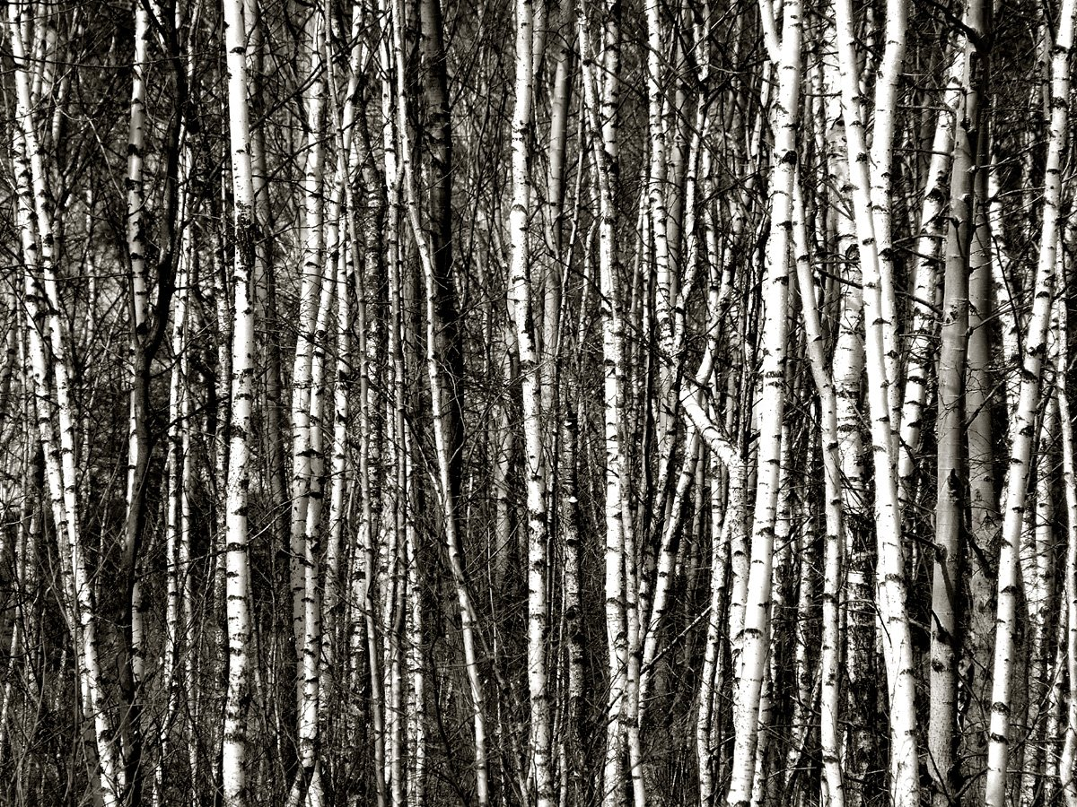 dog forest birch trees trees snow bruiach birch white tumblr 1200x900