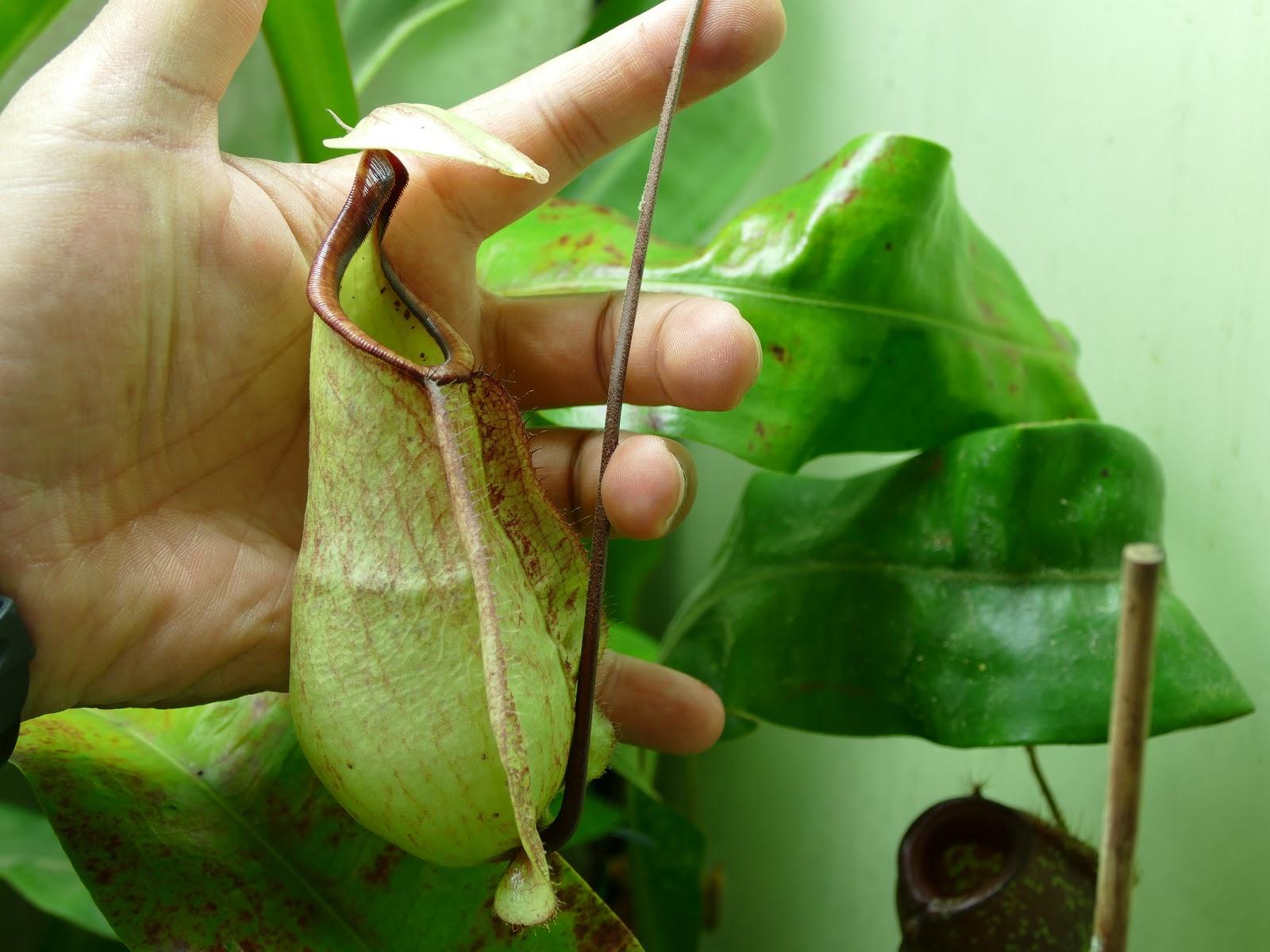 Nepenthes rafflesiana photos 1600x1200