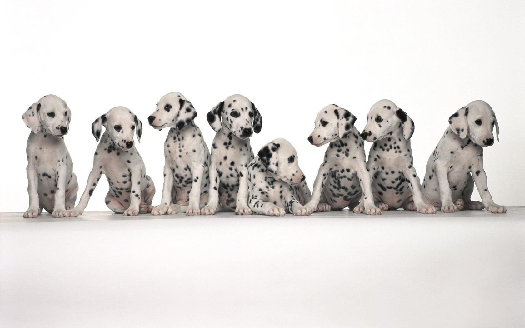Dalmatian puppies wallpapers Dalmatian puppies stock photos 1680x1050