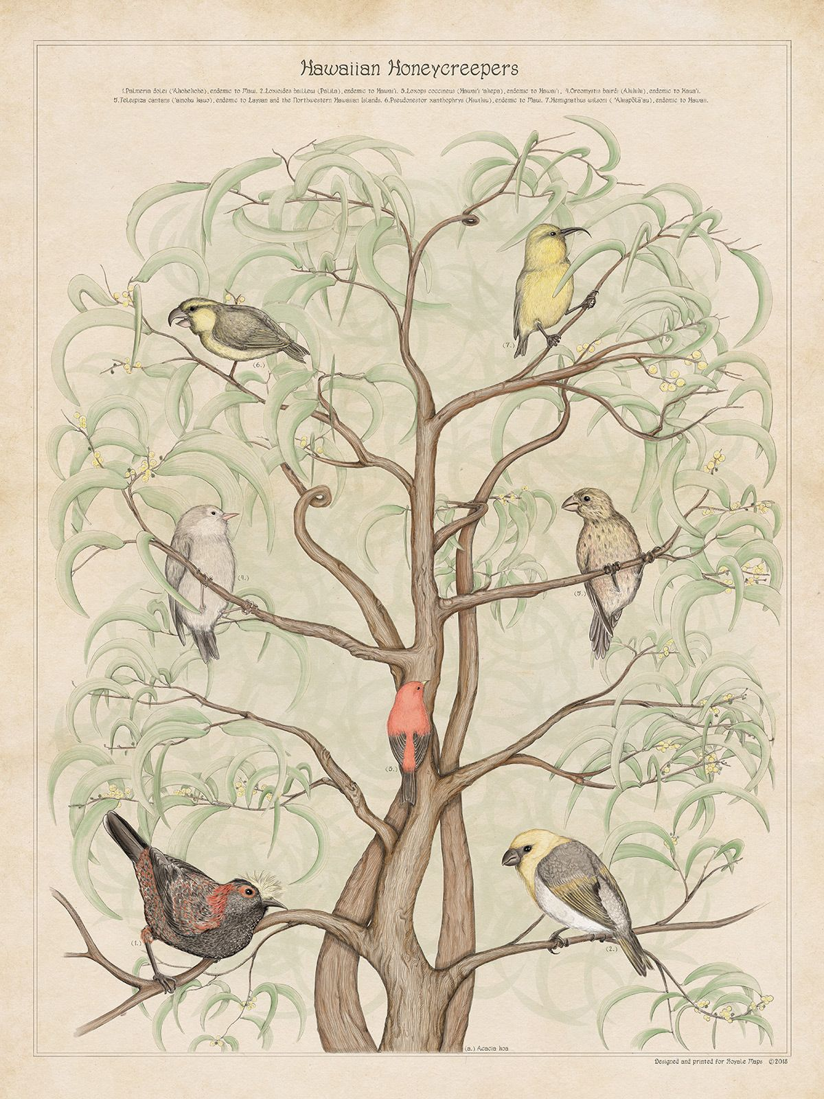 Endemic birds from Hawaii zoology print By Royale Maps Zoology 1200x1600