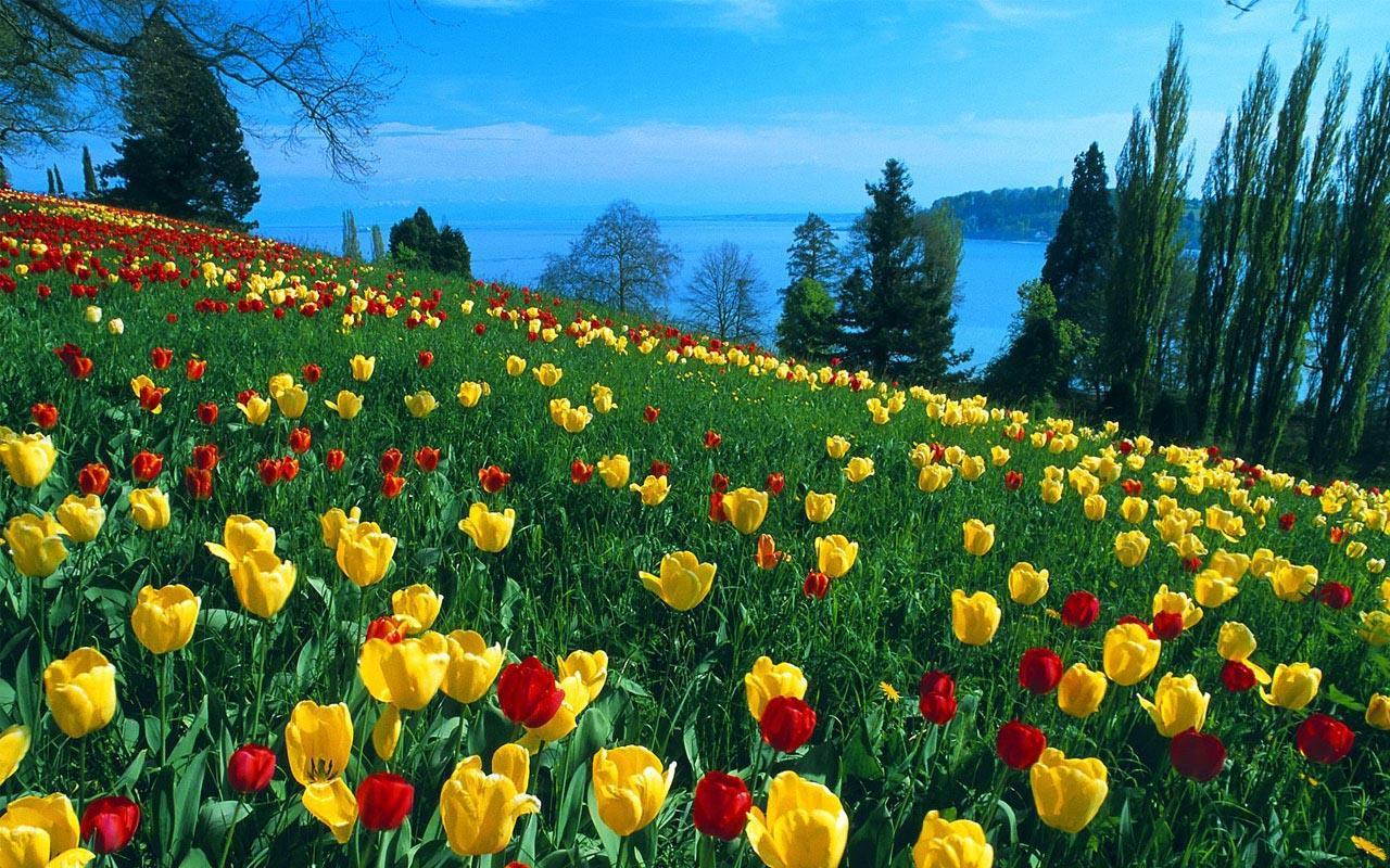 Live Tulip Flower Wallpaper HD 1280x800