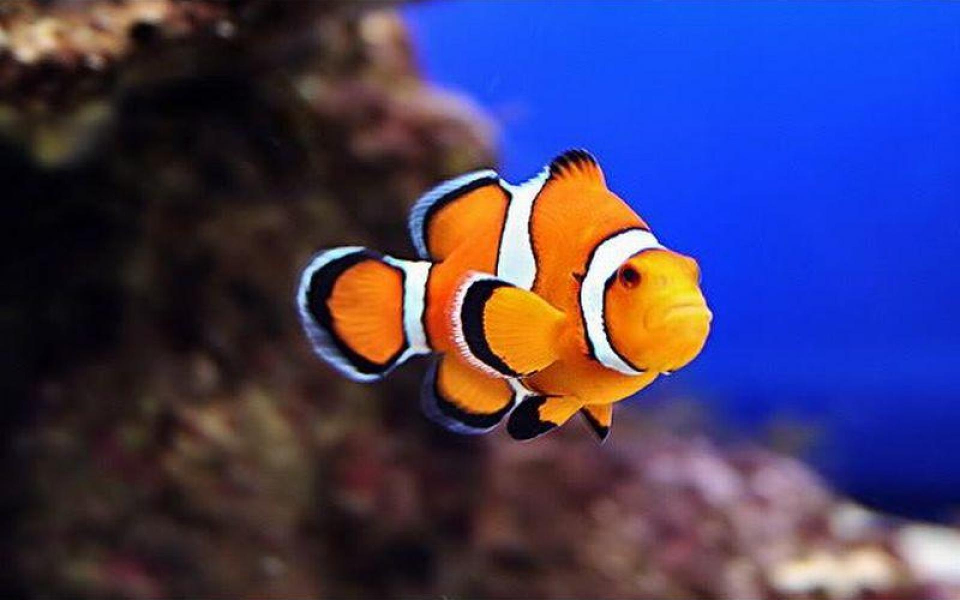 CLOWN FISH WALLPAPER   75948   HD Wallpapers   [wallpapersinhqpw] 1920x1200
