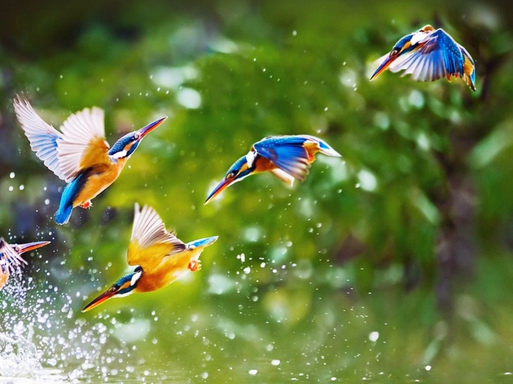 Flying Birds HD Wallpapers nature 1024x768