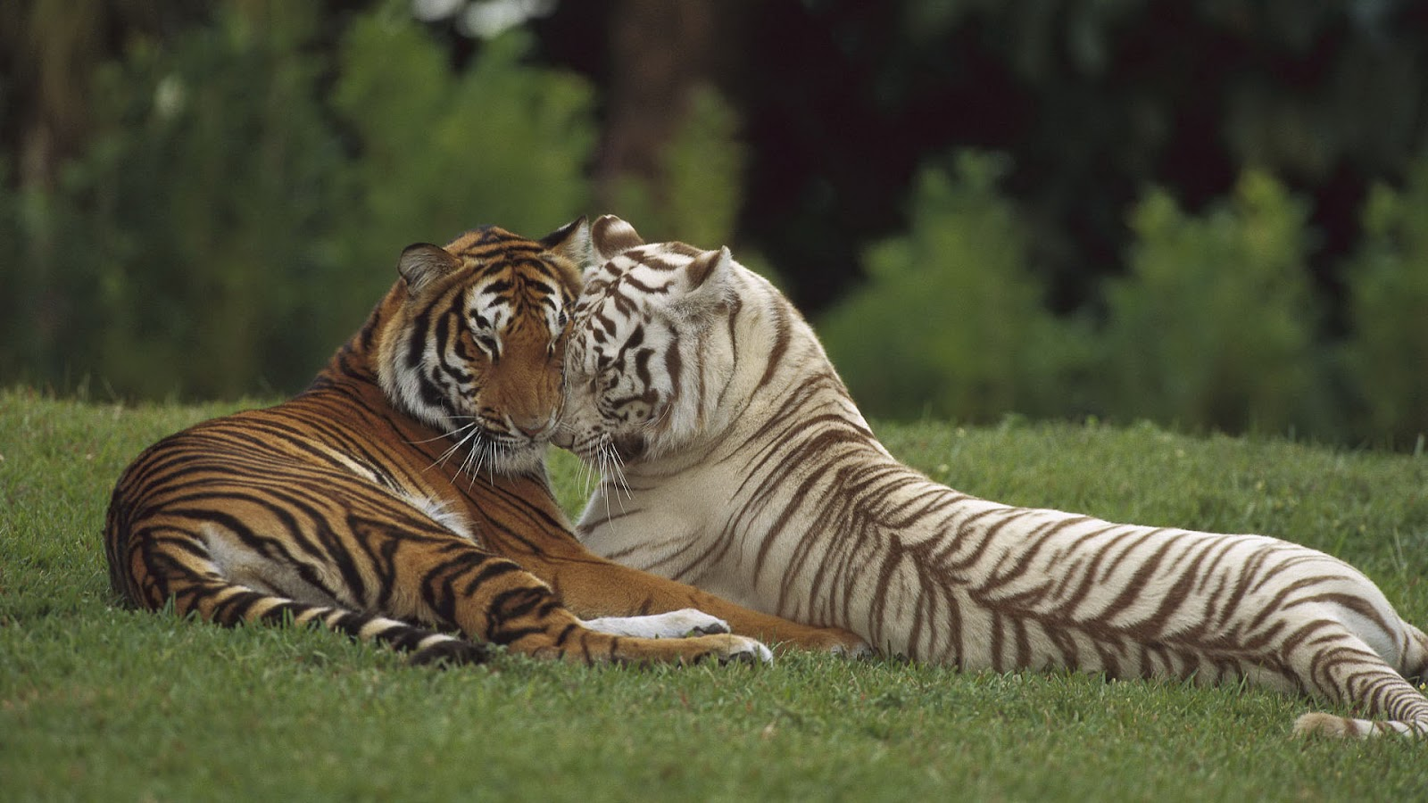 HD animal wallpaper with two cuddling tigers HD tigers wallpapers 1600x900