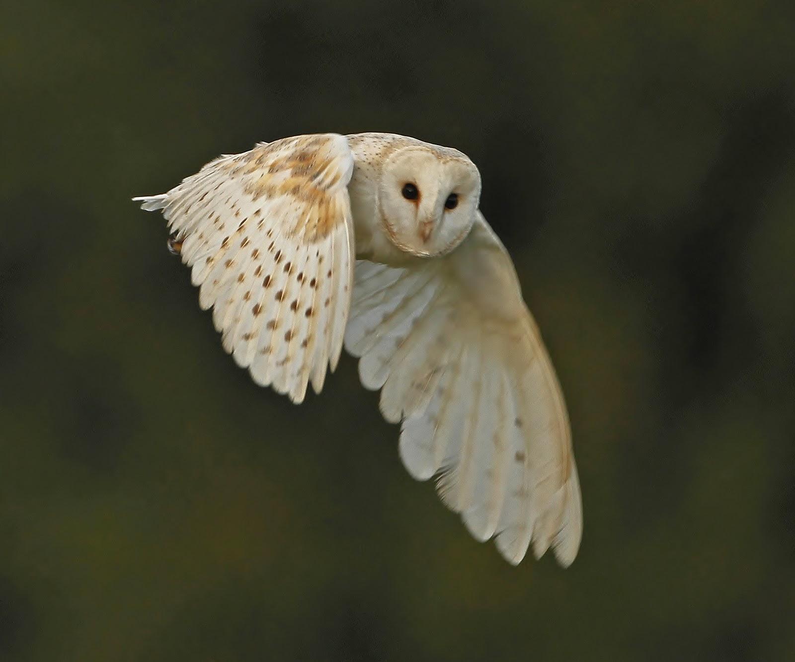 Barn Owl Wallpaper Wallpapersafari