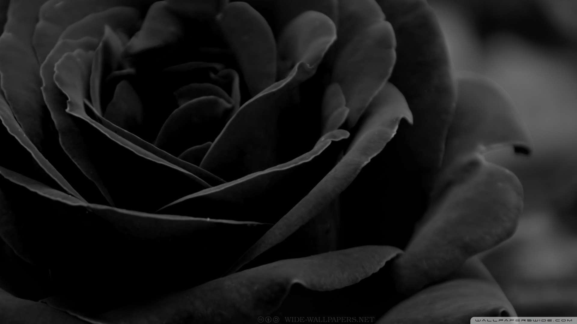 Hd wallpaper upload - Wallpaper Black Rose 3 Wallpaper 1080p Hd Upload At December 31