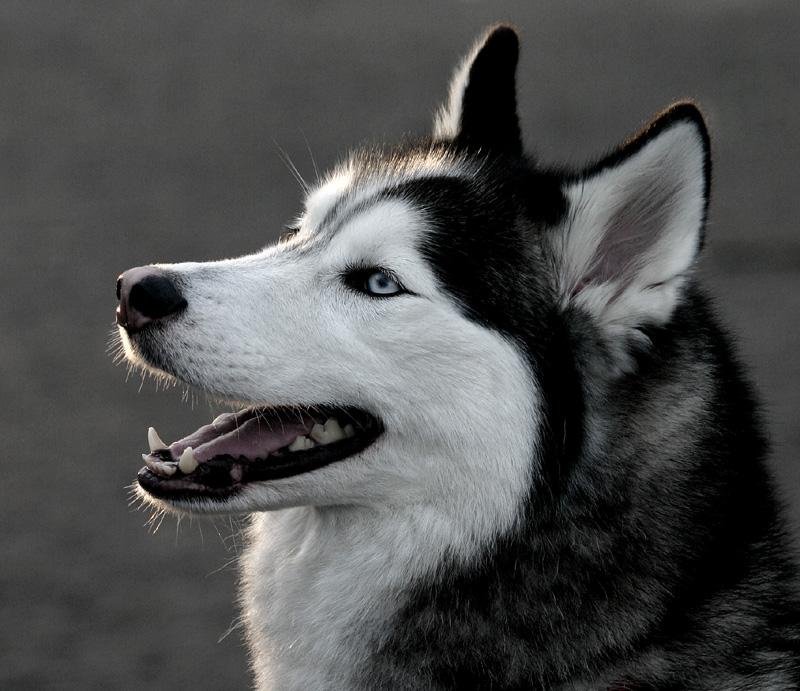 Blue Eyeshusky Wallpaper Siberian Husky True Winter Dog Plus Pets Dogs 800x691