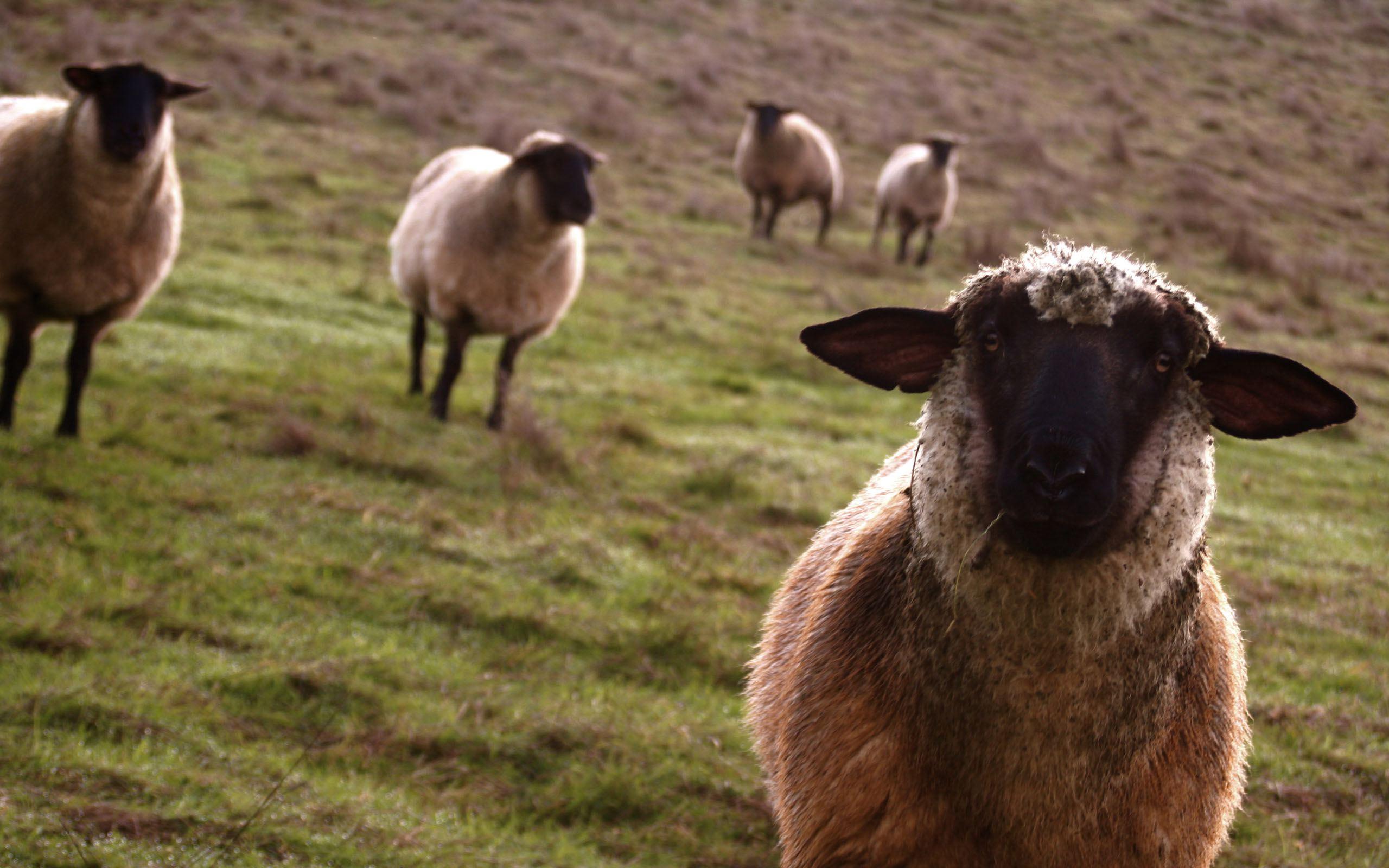 47 Sheep Wallpaper Desktop On Wallpapersafari
