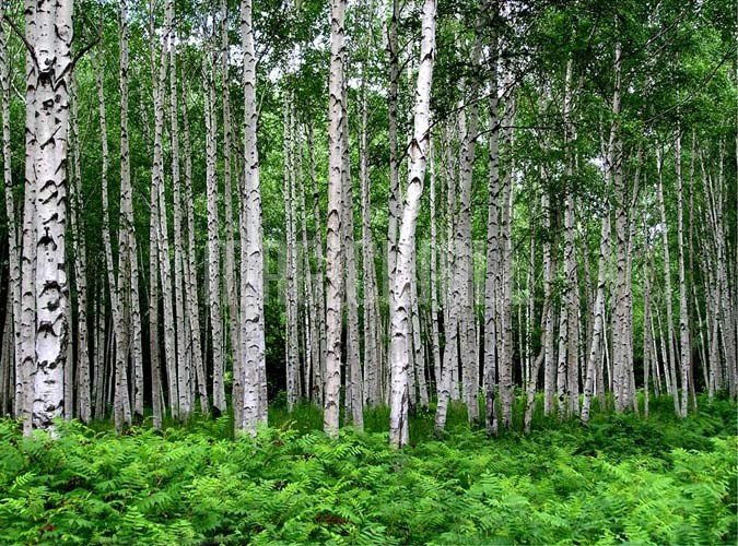 Related Pictures birch tree wall mural 368 x 254 cm 39 95 a forest of 675x500