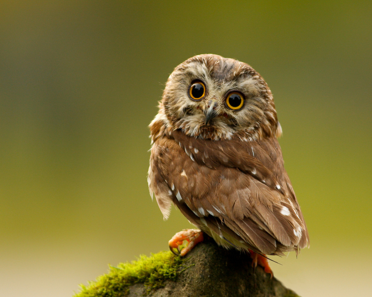 Free Download Cute Owl Wallpaper 1280x1024 For Your Desktop