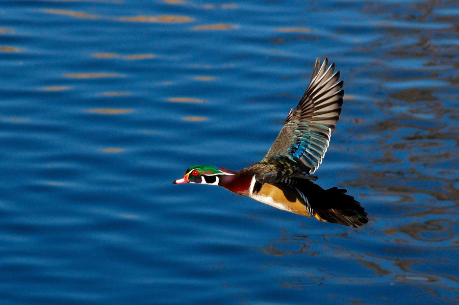 Wood Duck Wallpaper - WallpaperSafari Wood Ducks Flying