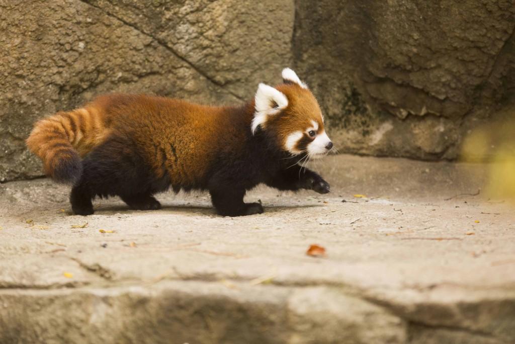 Download Cute Red Panda HD Wallpaper Wide Desktop Animals Wallpapers 1024x683