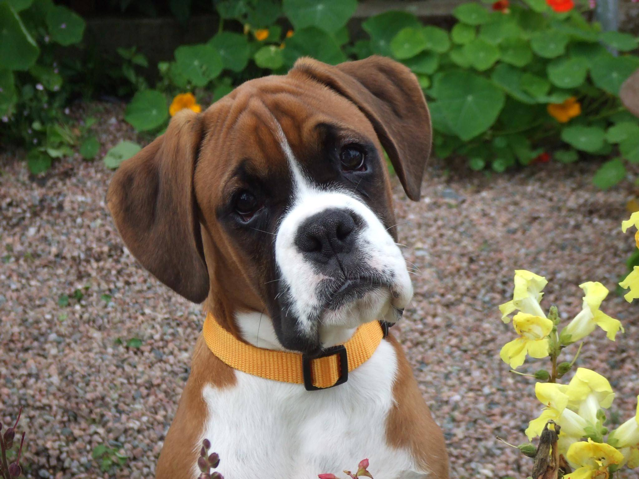 Cute Boxer Puppy   Dogs Wallpaper 2048x1536