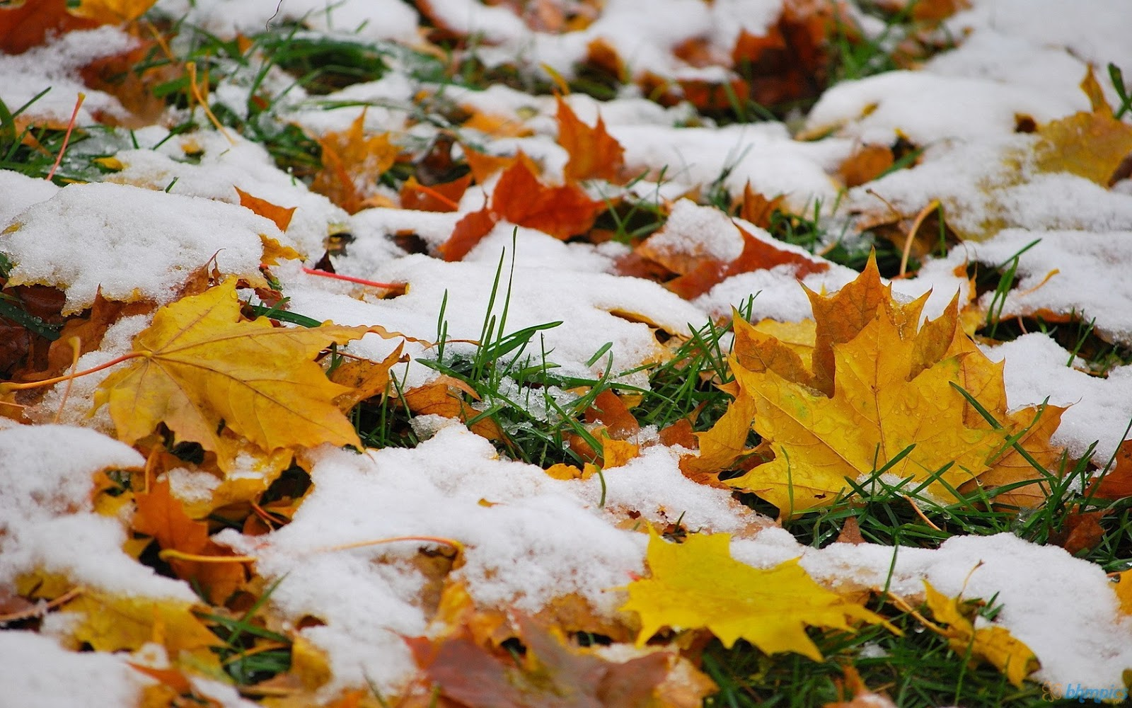 Snow On Autumn Leaves Wallpaper Snow On Autumn Leaves Wallpaper 1600x1000