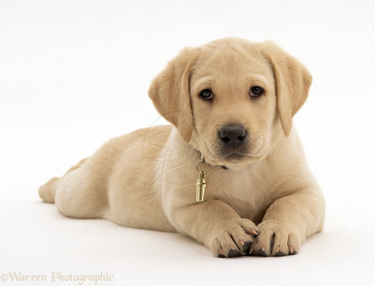 Yellow Labrador Retriever Puppy White Background   1311x1000 iWallHD 1311x1000