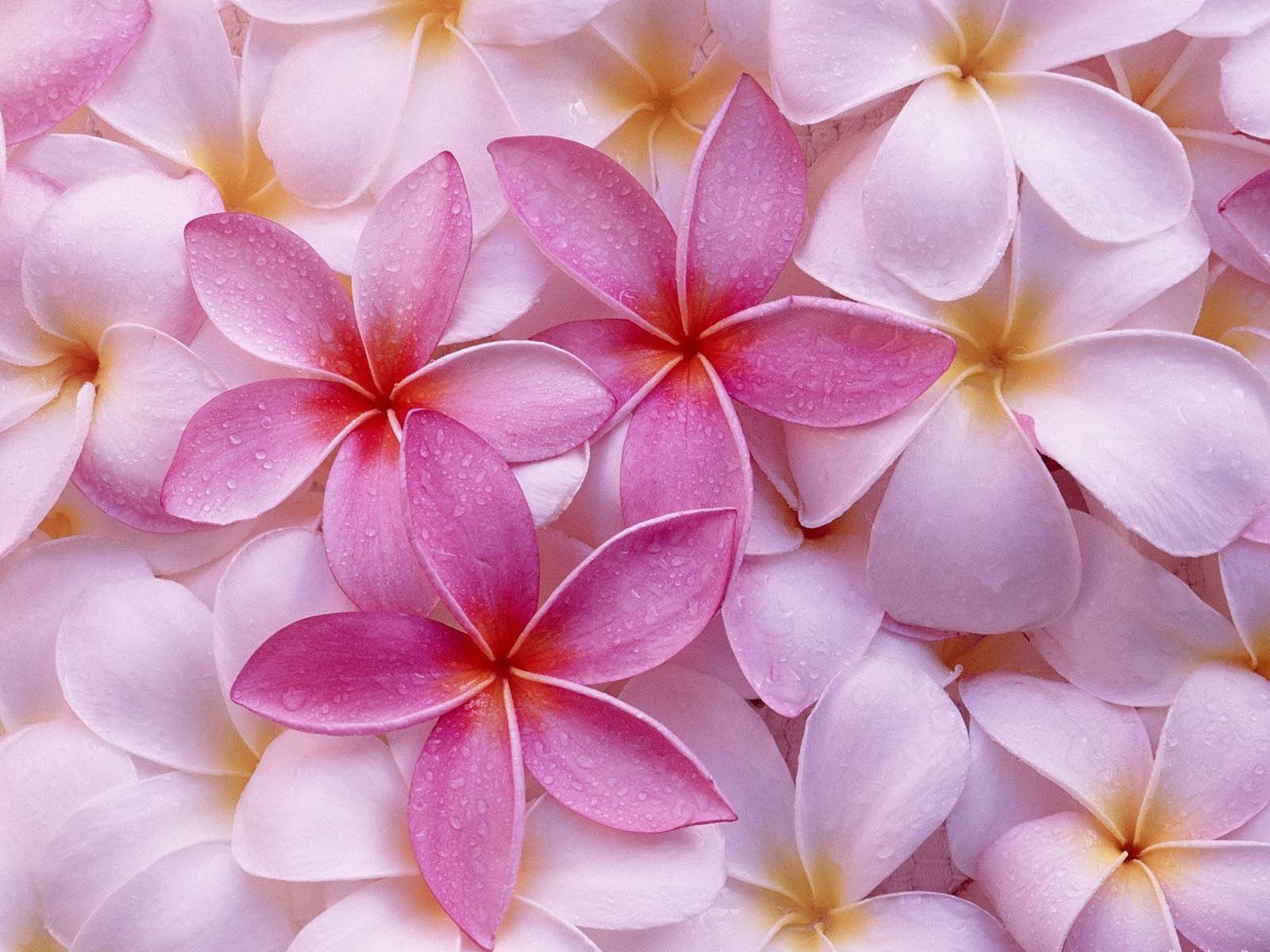 wallpapers Pink Flowers Wallpapers 1600x1200