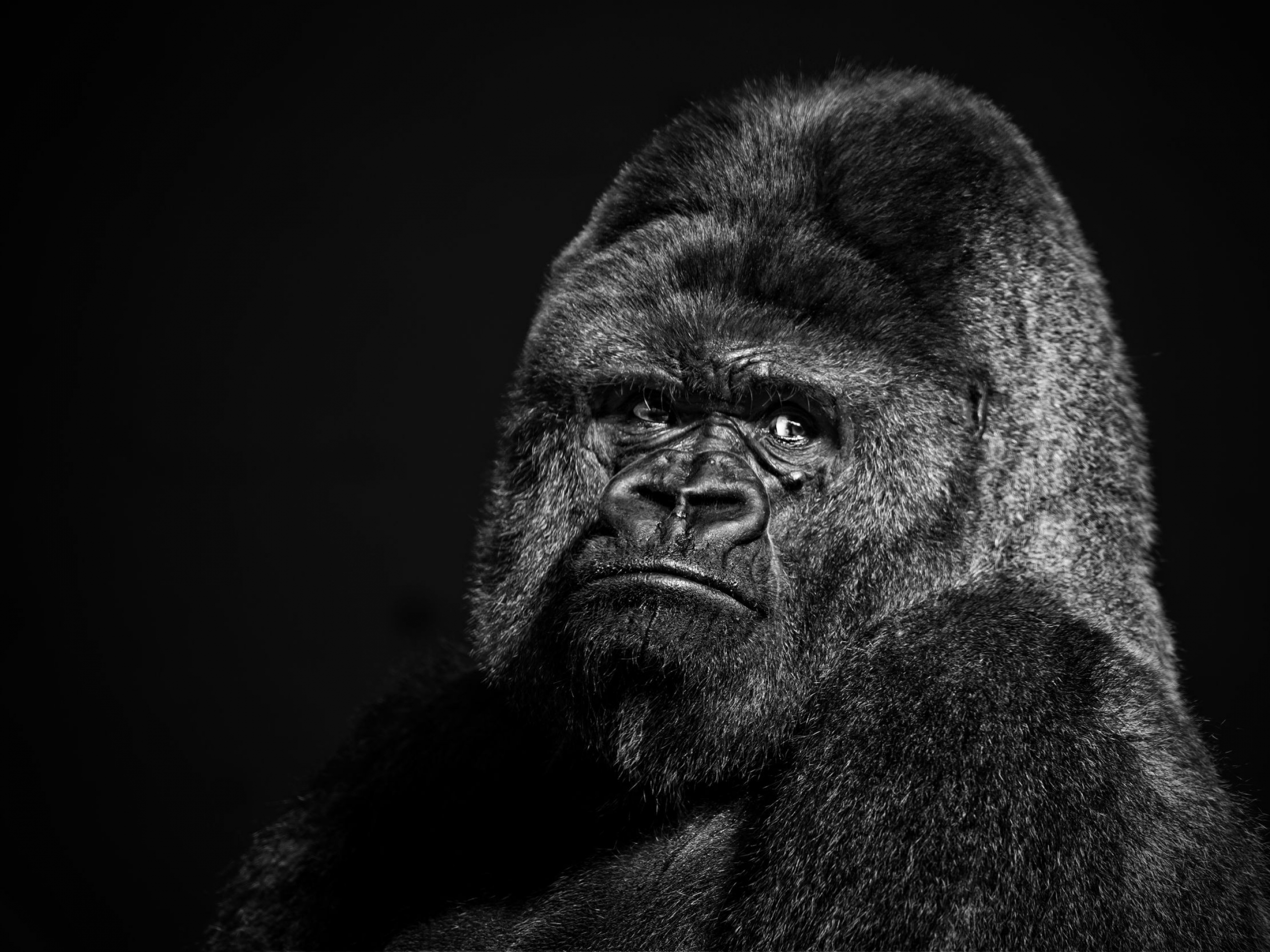 Gorilla Wallpaper HD Wallpaper Background ID 2560x1920