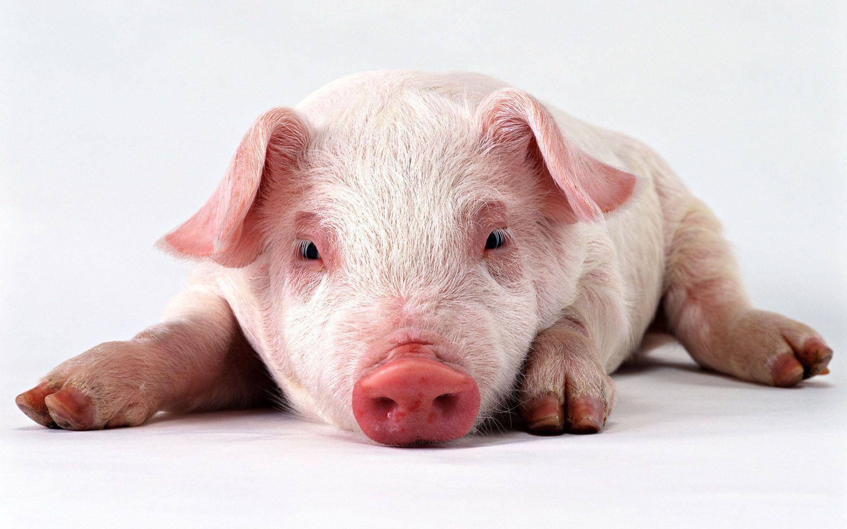 Cute Pig Wallpapers 1680x1050